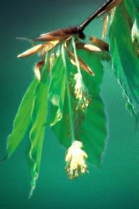 alessandra taffi fiori bach Beech 017