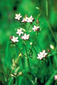 alessandra taffi fiori bach Centaury 018