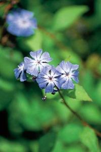 alessandra taffi fiori bach Cerato 019
