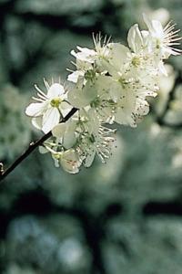 alessandra taffi fiori bach Cherry Plum 020