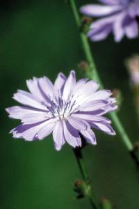 alessandra taffi fiori bach Chicory 016