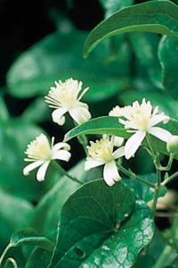alessandra taffi fiori bach Clematis 015