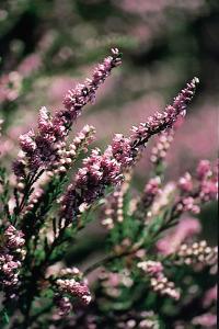 alessandra taffi fiori bach heather 022