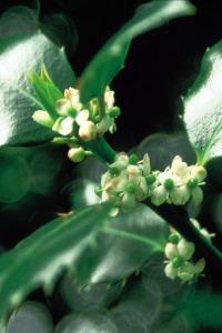 alessandra taffi fiori bach holly 023