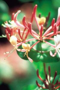 alessandra taffi fiori bach honeysuckle 024