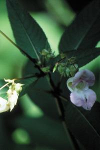 alessandra taffi fiori bach Impatiens 026