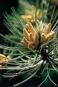 alessandra taffi fiori bach pine 042