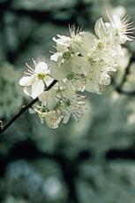 alessandra taffi fiori bach Rescue Remedy 031