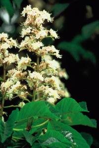 alessandra taffi fiori bach white chestnut 051