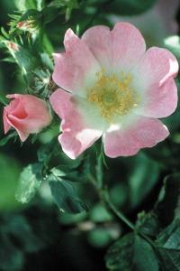 alessandra taffi fiori wild rose 053